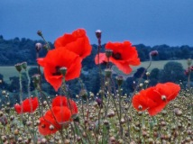 Poppies, blue storm 2